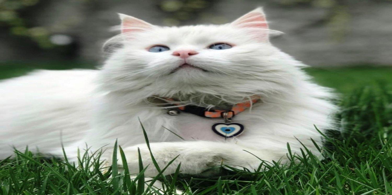 Kedi Psikolojisi
