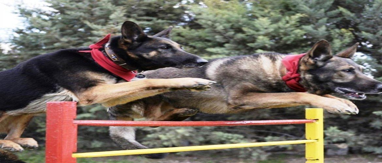 Eğitilemeyecek Köpek Yoktur,Hangi Irktan ve Kaç Yaşında Olursa Olsun...